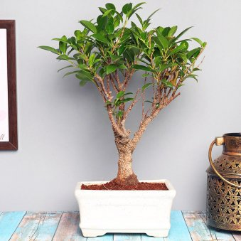 I Shape Bonsai